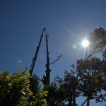 Cedar Removal North Shore