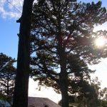 Pine Removal Auckland TreeZone Ltd